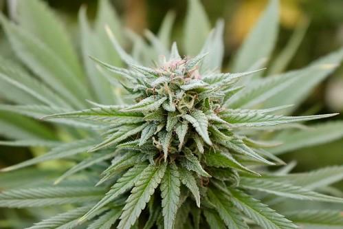 Cannabis Flower   by bshamblen