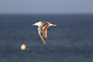 Lesser Black-backed Gull (Larus fuscus | by ipin-by-the-sea