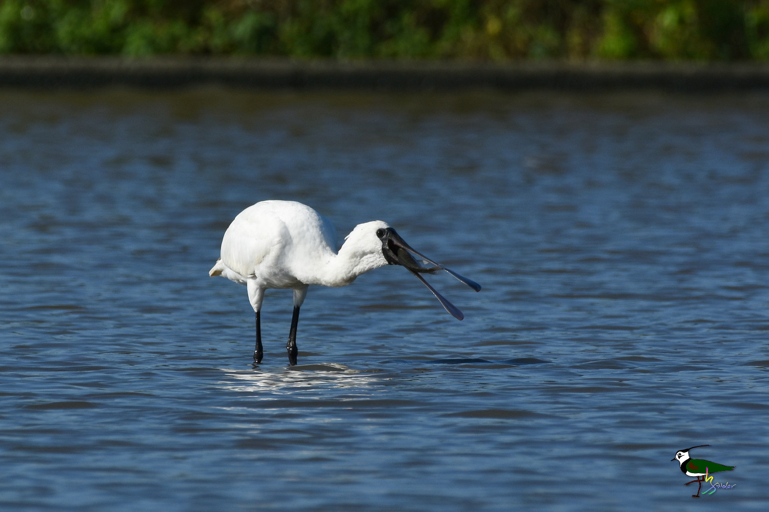 Black-faced_Spoonbill_9804