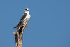 Black-winged Kite (Elanus caeruleus), Tadoba National Park, India by Free pictures for conservation