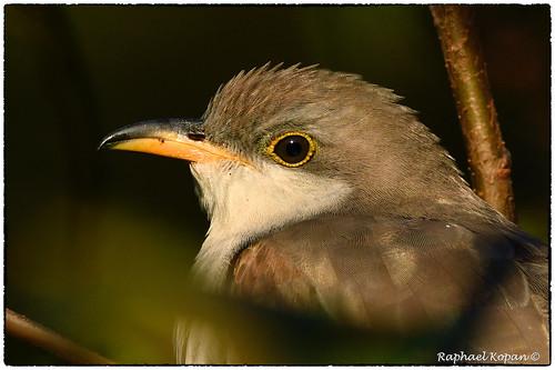 raphaelkopanphotography armlederpark cincinnati ohio cuckoo d500 nikon wildlife
