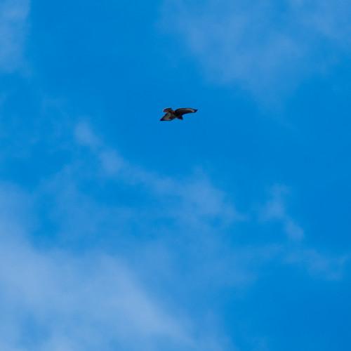Carrion crow, five buzzards