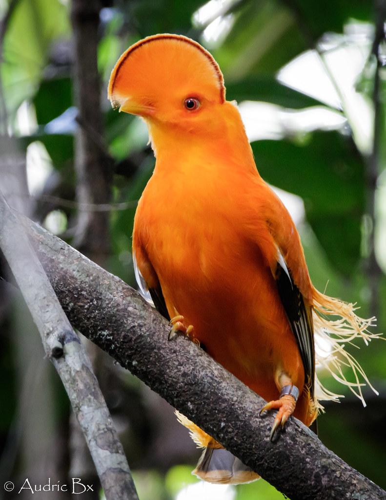 Rupicola rupicola - Coq de roche orange