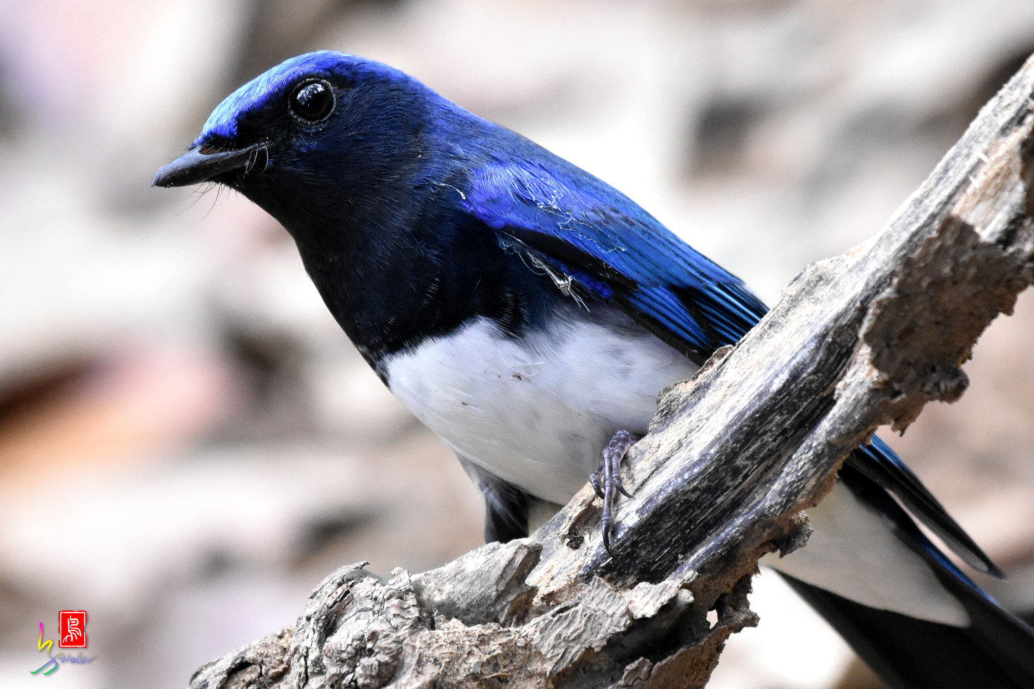 Blue-and-white_Flycatcher_9006
