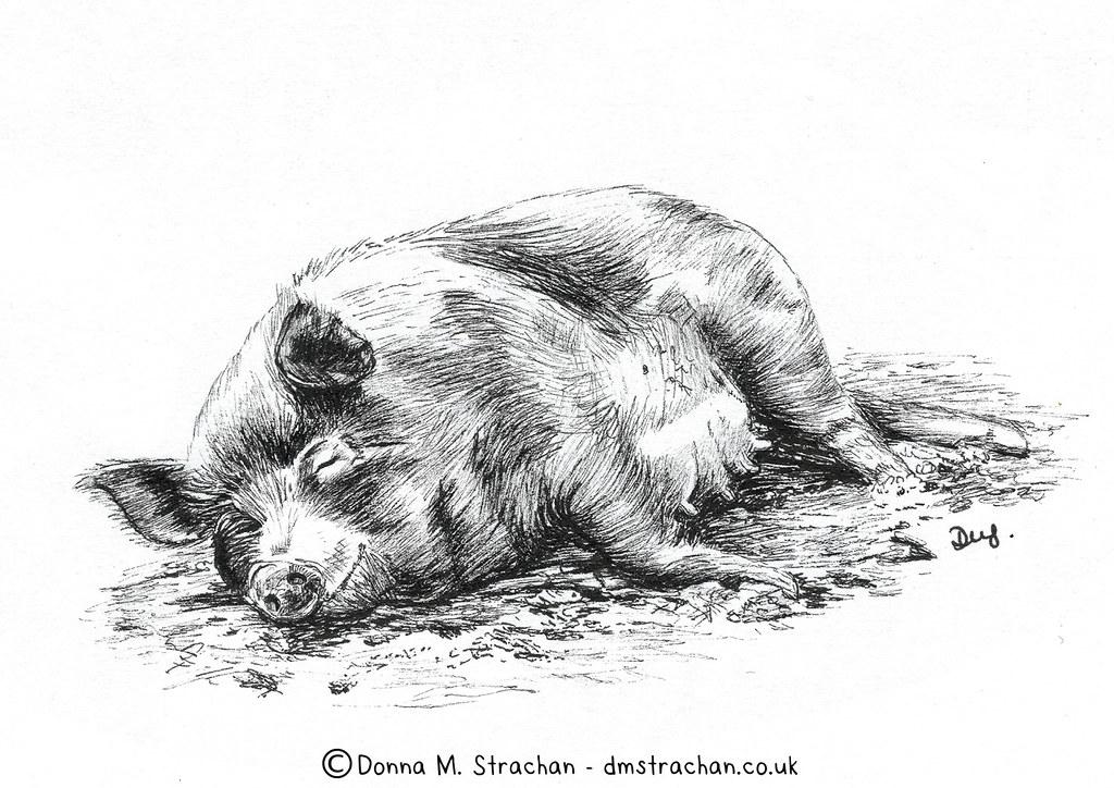 Pig sleeping in the mud