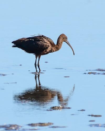 glossy ibis f00431 burtonmererspb d210bob dsc5761 nikond7200 birdphotography birdphotos naturephotography naturephotos nikon wildlifephotography nikon200500f56 rspb
