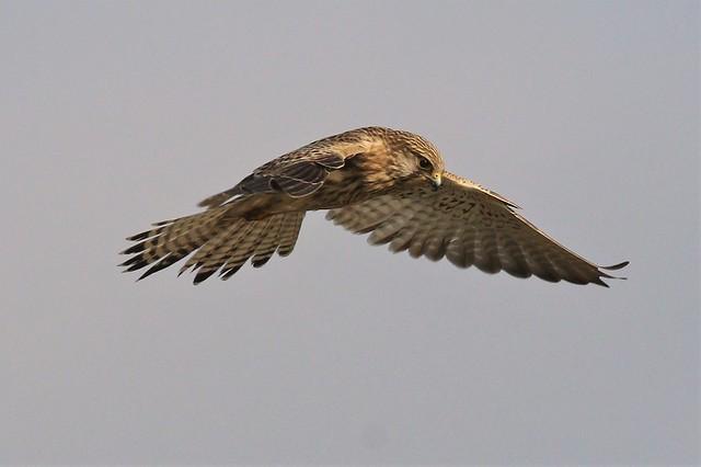The Common Kestrel (Falco tinnunculus) Dungeness RSPB