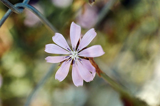 Chicory | by Jim Grey