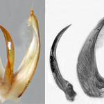 Copelatus cf. alternatus Sharp, 1882:576, male, aedeagus (left) and aedeagal lobes separate (right, lateral aspect)