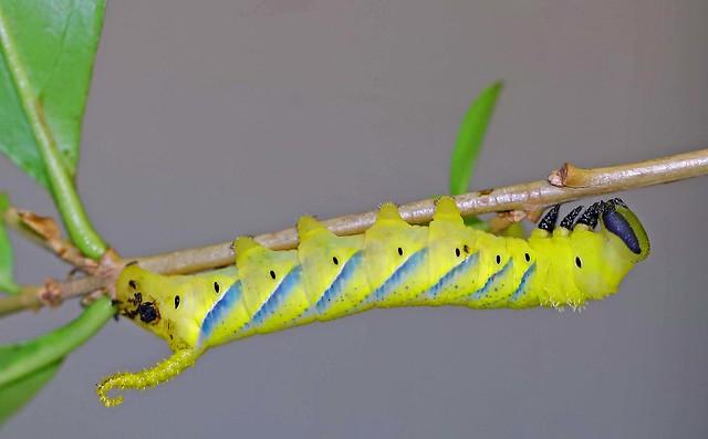 Death-head hawkmoth caterpillar .