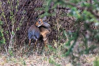 Serengeti_17sep18_02_dik dik | by Valentin Groza