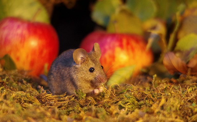 wild mouse with Autumn apples  (5)