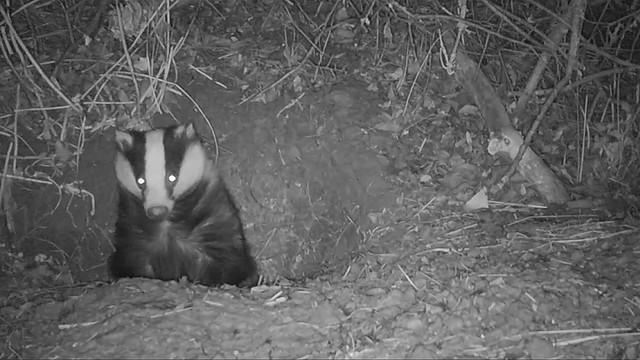 Badgers. Cambridgeshire.