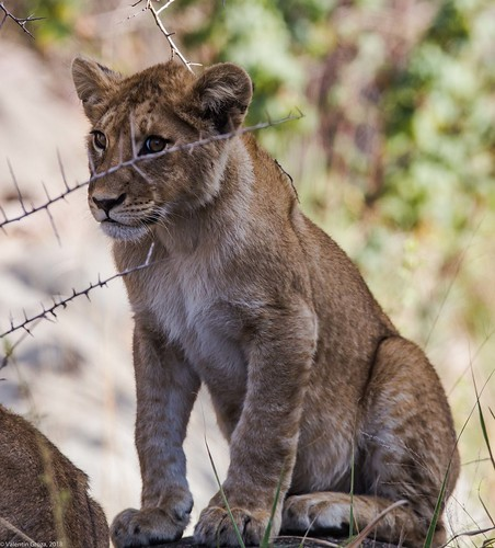 Serengeti_17sep18_15_pui de leu2 | by Valentin Groza