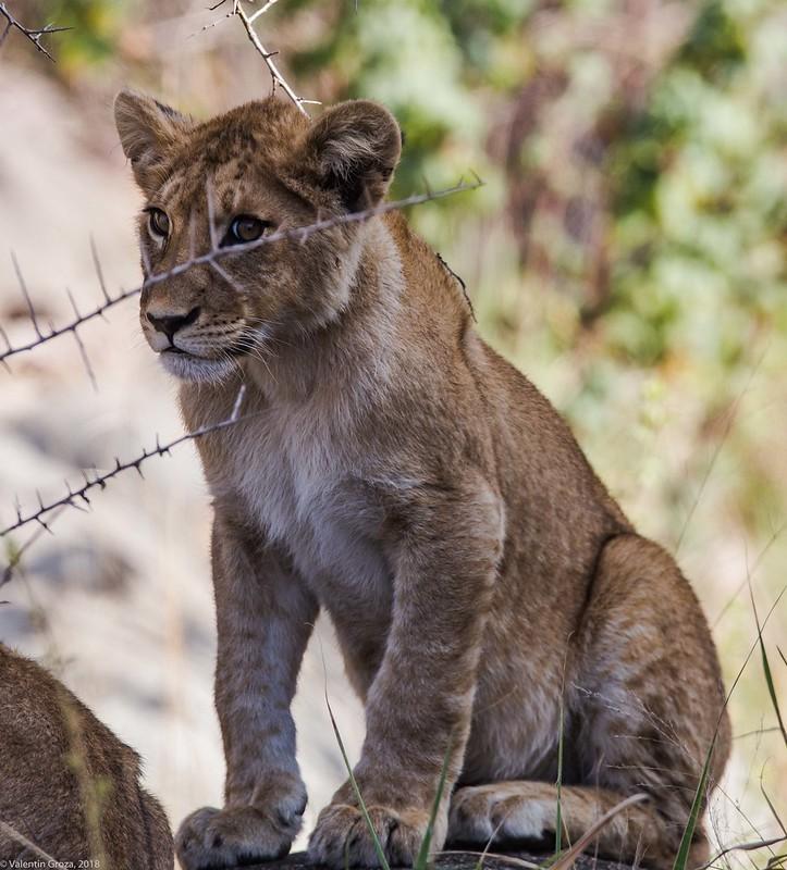 Serengeti_17sep18_15_pui de leu2