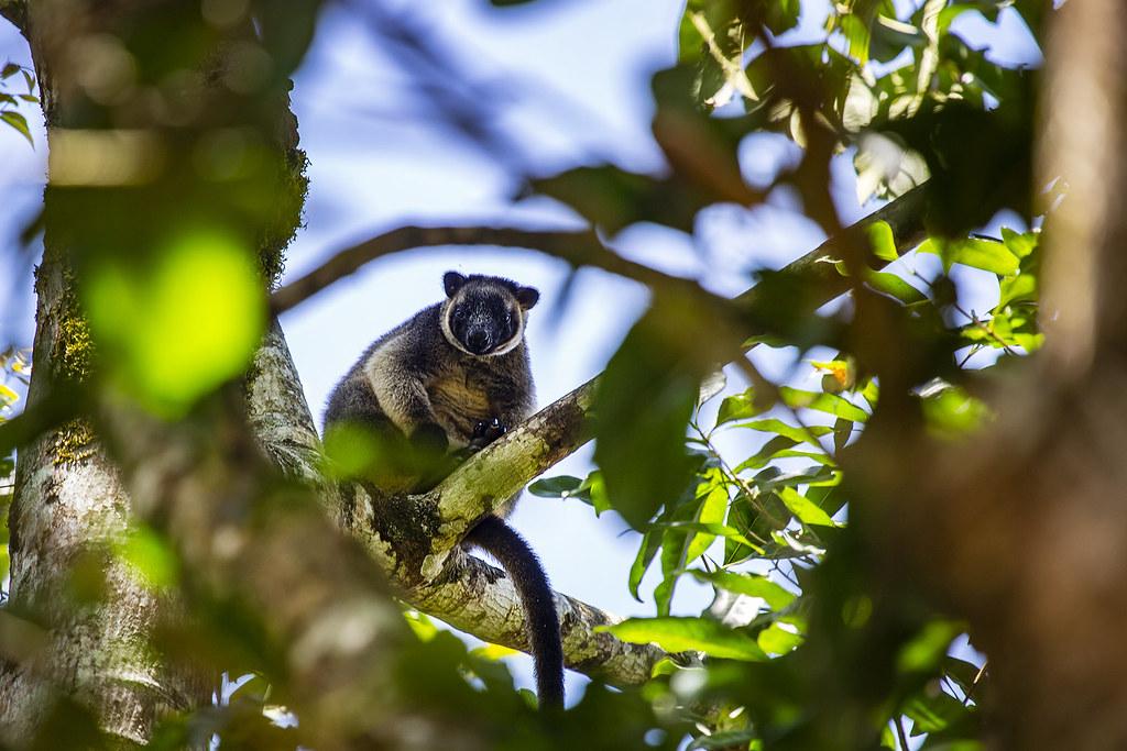 1N0A3272   Lumholtz's tree-kangaroo, Nerada tea Plantation ...