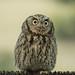 Western Screech Owl?