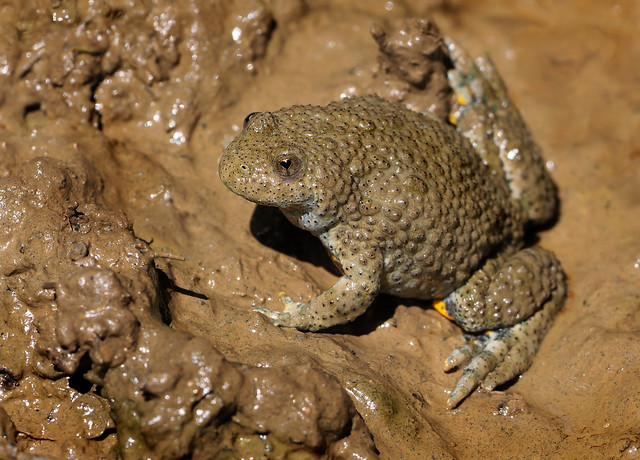 Yellow-bellied toad (Bombina variegata), SW Romania