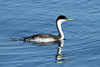 Aechmophorus occidentalis (Western Grebe) - Semiahmoo WA by Nick Dean1