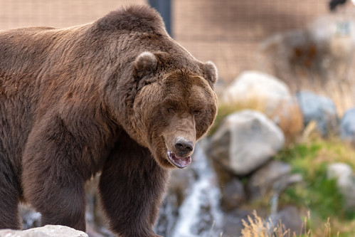 Grizzly and Wolf Discovery Center, west Yellowstne | by lloydie1963