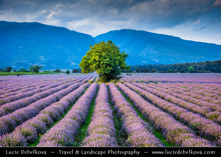 Bulgaria Lonely Tree In Lavender Fields In Full Bloom Flickr
