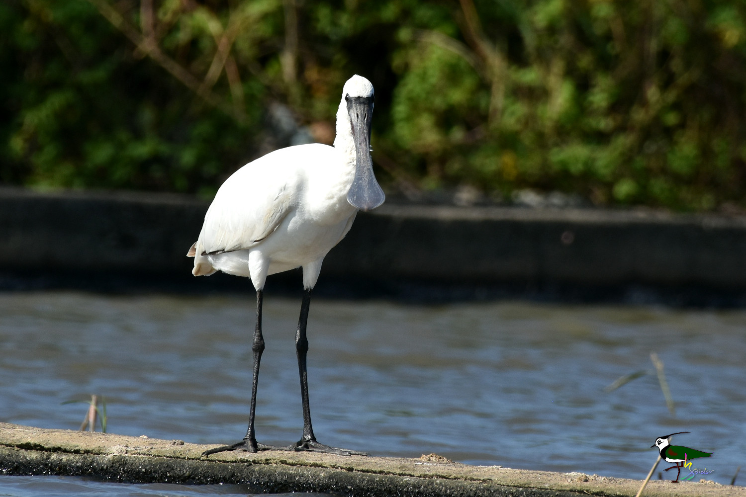 Black-faced_Spoonbill_0419