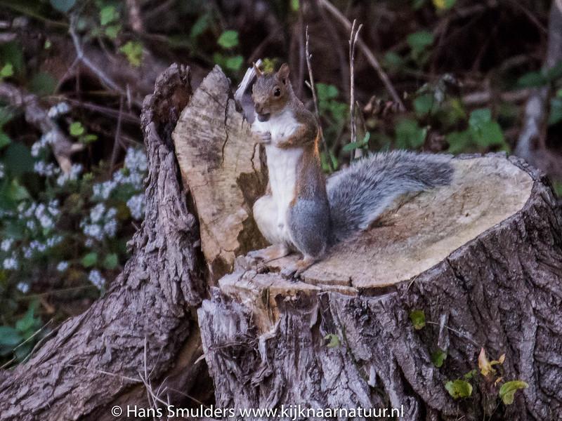Eastern Gray Squirrel (Sciurus carolinensis)-818_6615
