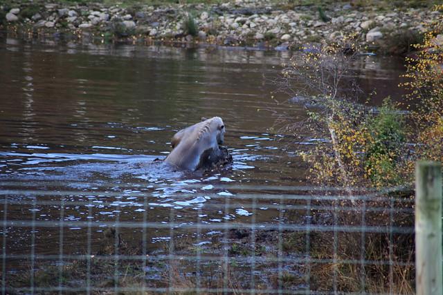 Hamish, a polar bear cub at Highland Wildlife Park