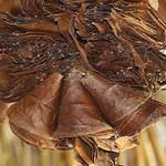 Getrocknete Guayusa-Blätter für den gleichnamigen Tee