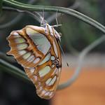 Malachite Butterfly acrobat