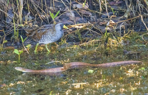 The Sora and the Snake | by kevin.krause44
