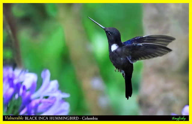 (Species #1911a) Endemic and Vulnerable BLACK INCA HUMMINGBIRD - [ Chicaque National Park, Bogota, Colombia ]