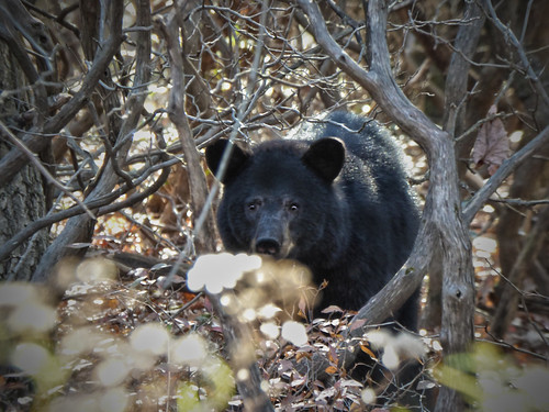 Photo of black bear in the woods