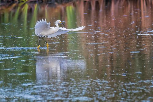 action bird egret hiltonhead pinckney snowyegret southcarolina summer sunrise water wildlife hiltonheadisland unitedstates us