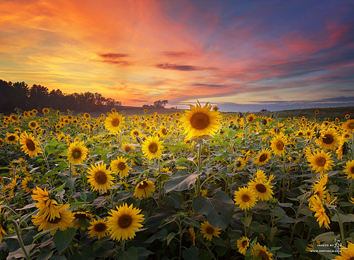 Sunset and Sun flower | by Z!@