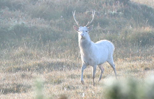 White Sika stag | by Kevin Keatley1
