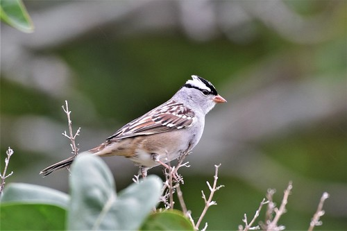 White-crowned Sparrow | by patbirddude