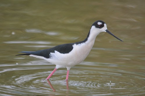 Black-necked Stilt | by Bobpkins