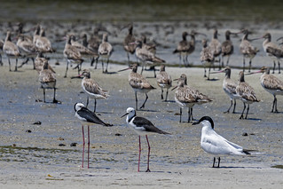 Black Winged Stilt & Gull Billed Tern | by bidkev1 and son (see profile)