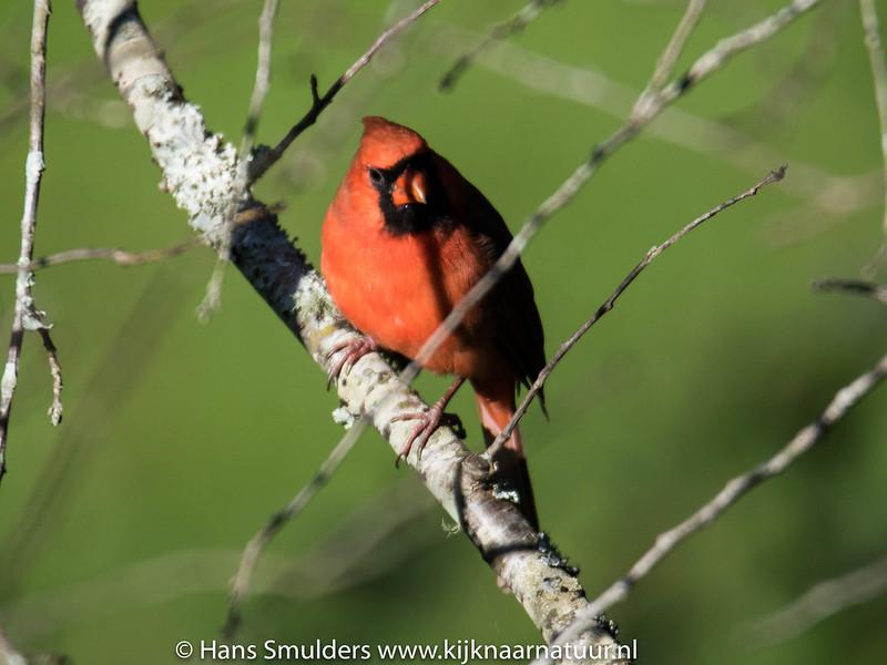 Northern cardinal (Cardinalis cardinalis)-818_6634
