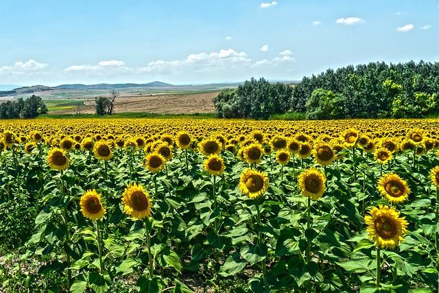 Sunflowers 🔆