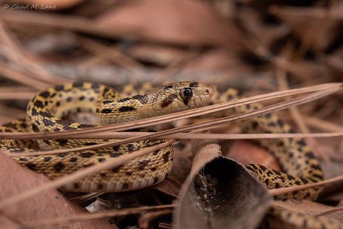 Pacific Gophersnake (Pituophis catenifer catenifer) | by Chad M. Lane