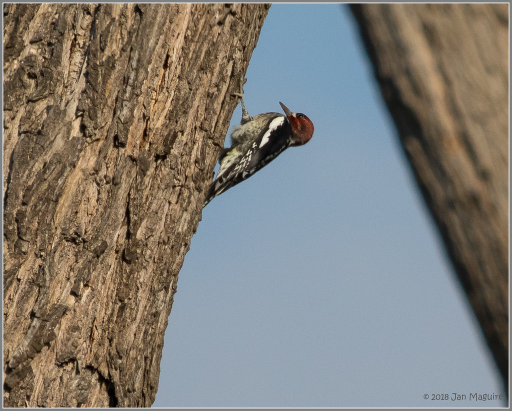 Red-breasted Sapsucker 2671