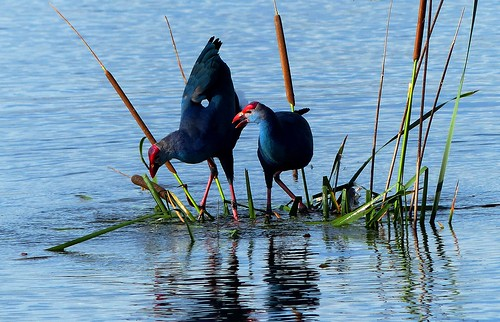 Purple Swamphen - breeding plumage - courtship display   by friends - I was off last 10 weeks - now I'm back .