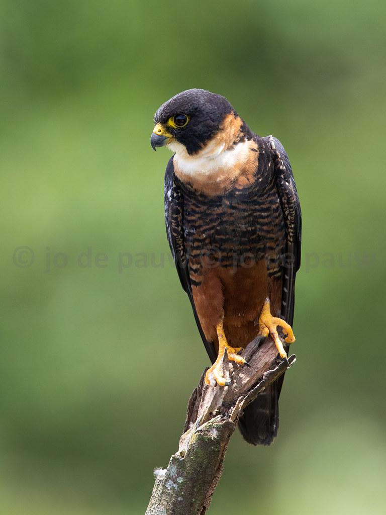 Bat Falcon | Falco rufigularis | Halcón Murcielaguero | Vleermuisvalk