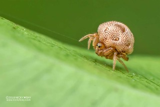 Sesame seed comb-footed spider (Phoroncidia sp.) - DSC_5117