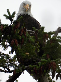 october 8 2018 16:30 - the other Eagle in The Peters* Tree | by boonibarb