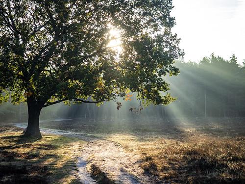 bussumerheide 2018 bussum westerheide heath earlymorning dawn sunrise tree branch backlight