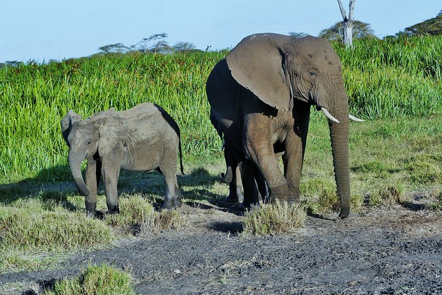 Elephant Mother and Two Youngsters