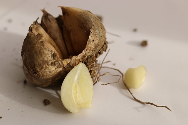 Garlic for medicinal use